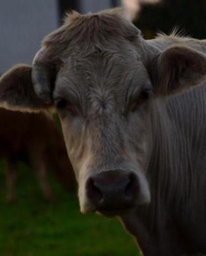 AE JUL13 C EPSB 6 Cow in a Field